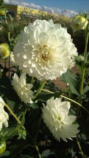 ダイアナ花.jpg